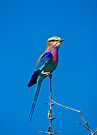 Lilac-breasted Roller - National bird of Botswana by Neville Jones