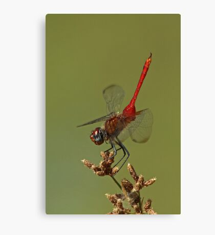 Red-Tailed Pennant Canvas Print