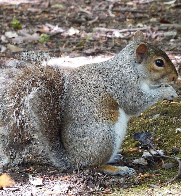 Grey Squirrel  by Deb Vincent