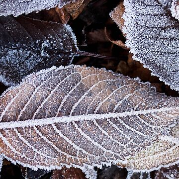 Frosted brown autumn leaves by franceslewis