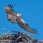 Juvenile Eastern osprey  by Janette Rodgers