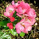 Governor General's rose 11 by Shulie1