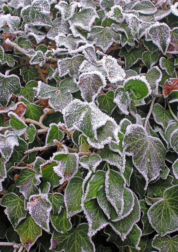 "Frost on ivy (Hedera Colchica ""Dentata"") by Philip Mitchell"
