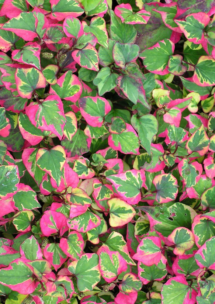 "Houttuynia cordata ""Chameleon"" by Philip Mitchell"