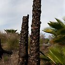 Two Palm Stumps by joshsteich