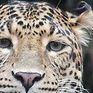 Amur Leopard - close-up by Martina Nicolls