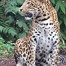 Amur Leopard - sitting  by Martina Nicolls