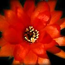 Orange Cactus Flower  by Bev Pascoe