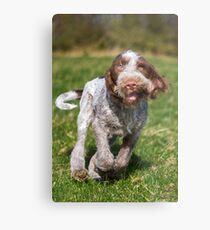 Brown Roan Italian Spinone Puppy Dog In Action Metal Print