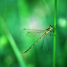 Common Spreadwing by Bill Morgenstern