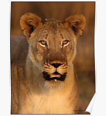 Southern Lioness Poster