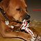 Pug, Bulldog or Mastiff with a Toy or Chewy