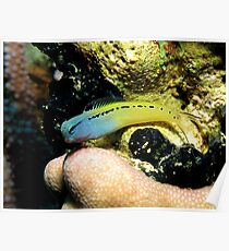 Red Sea Mimic Blenny Poster