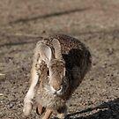 Run Rabbit Run by DenverCool