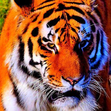 TIGER 4 by IMPACTEES