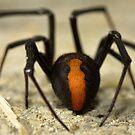 Redback Spider by Arek Rainczuk