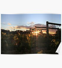 First light over the vines, Moorilla Poster