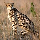 Male Cheetah by Michael  Moss