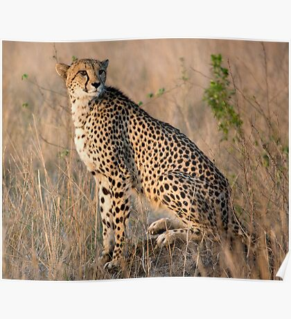 Male Cheetah Poster