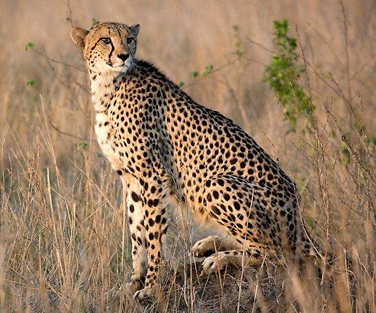 Male Cheetah by Michael  Moss