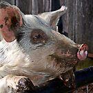 Matilda Pig by Eve Parry