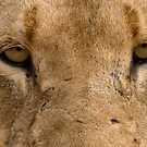 Lioness Eyes by Michael  Moss