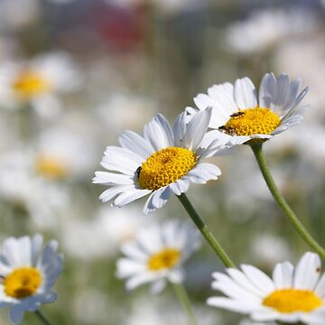 chamomile close up spring season by goceris