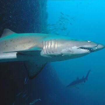 Grey Nurse Sharks at Magic Point, Maroubra by eschlogl