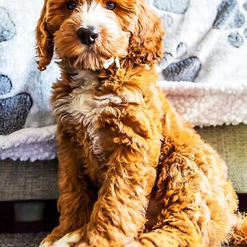 Dexter The Cockapoo Puppy by tommysphotos