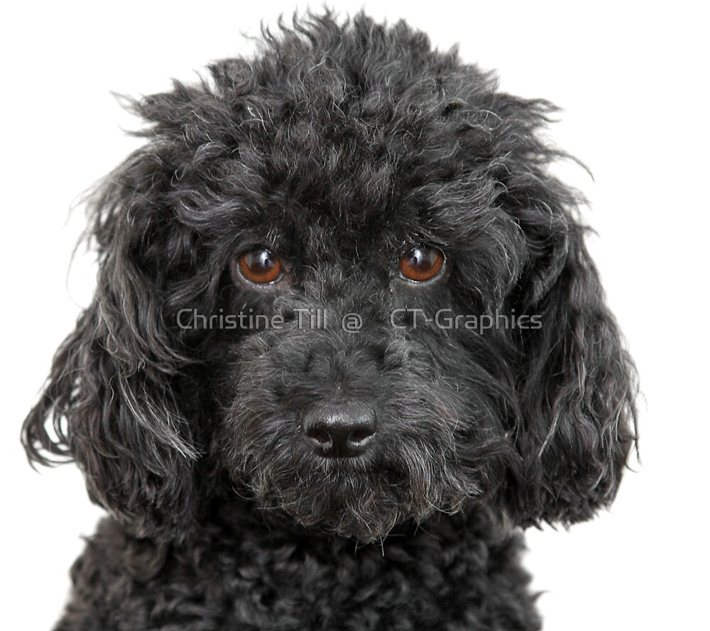 Toy Poodle by Christine Till  @    CT-Graphics