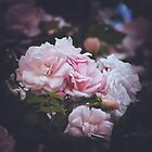 191 - Roses by CarlaSophia