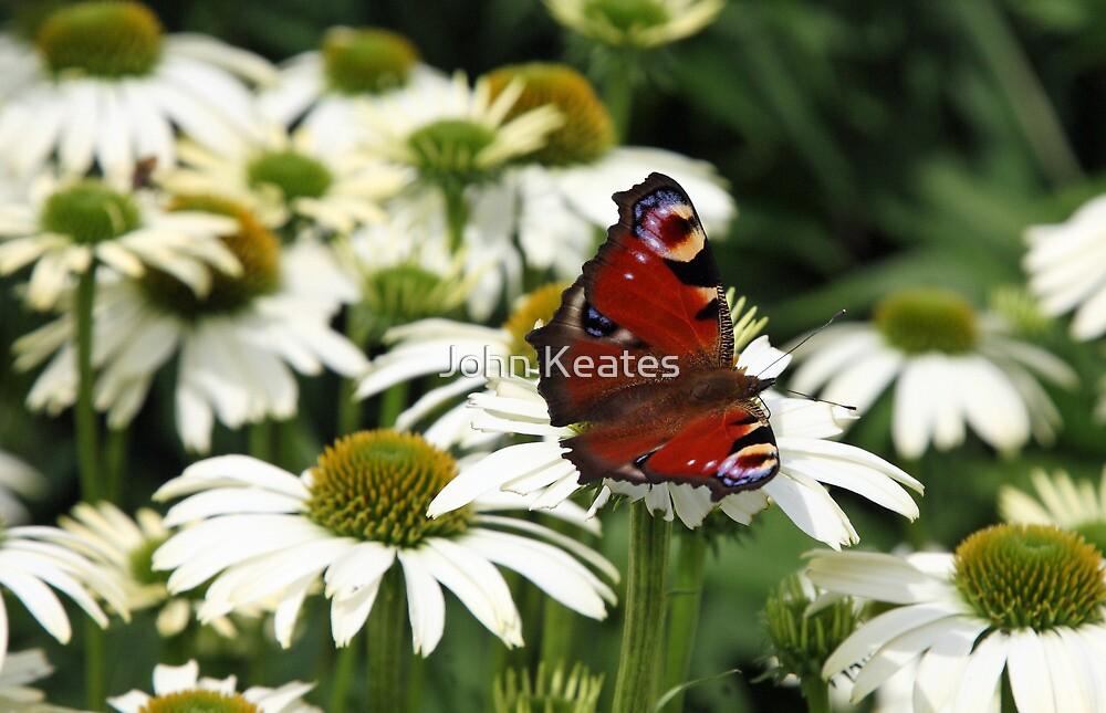 Peacock and Daisies by John Keates
