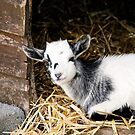 Baby Goat by Leon Woods