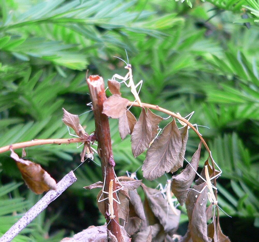 Praying Mantis Birthday Party by andytechie