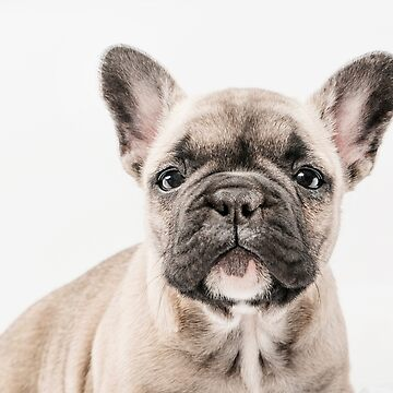First Frenchie  by ernest123