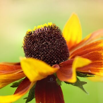 AFE Rudbeckia Nature Photography by afeimages1