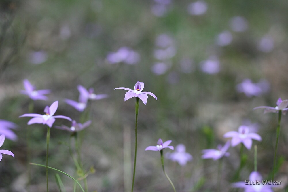 Field of Waxlip Orchids - St Andrews Victoria by Susie Walker
