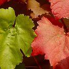 Crimson Glory vine by Jack Bridges