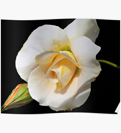 White Gold Rose - A Beauty! Poster
