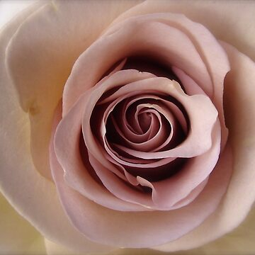 Pink Antique Rose by dalegillard