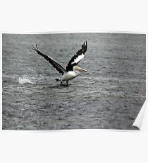 Pelican (1/5) -NSW Poster