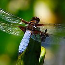 Blue tailed Dragonfly by SWEEPER