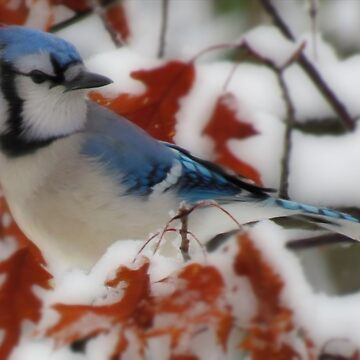 Blue Jay by dawnmvd