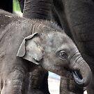 Luk Chai Baby Elephant by Kelly Robinson