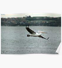 Pelican (4/5) -NSW Poster