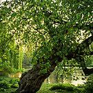 One Tree, St James Park, London by ColinKemp