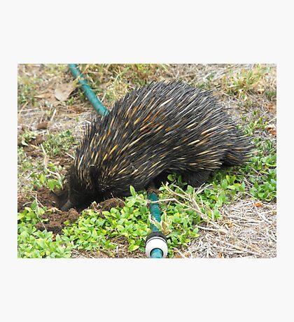 True Australian Garden Visitor  Photographic Print