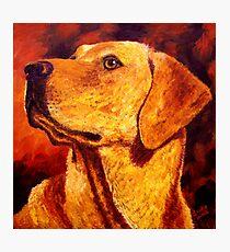 Labrador Dignity Photographic Print