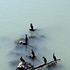 Cormorants Birds on the River  by Anna Lemos