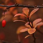 Barberry and its' foliage... by Poete100